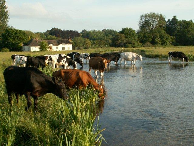 Chilbolton Common - Cows alongside River Test